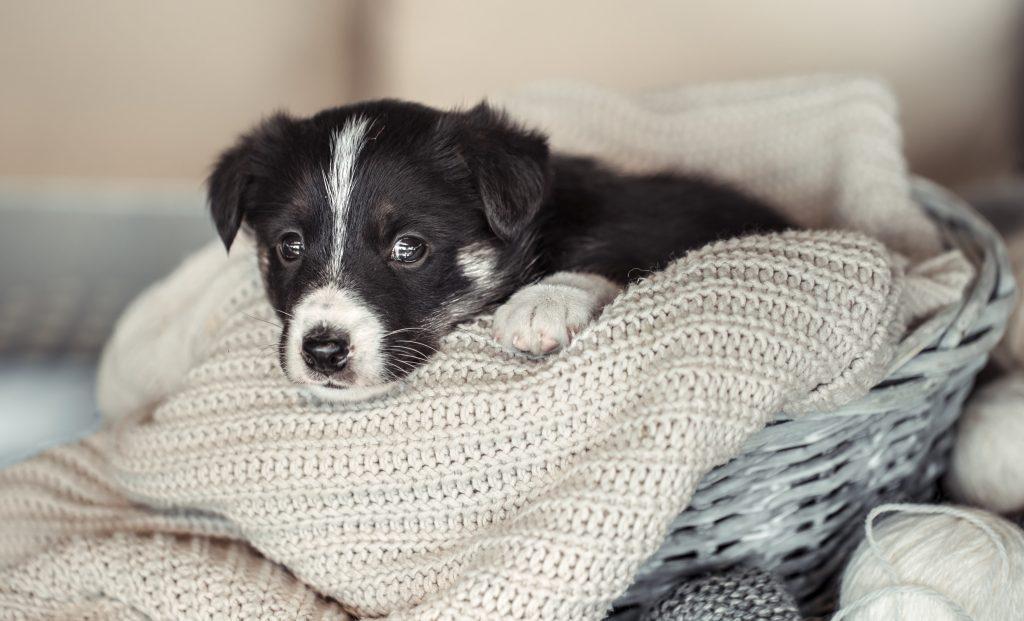 Herzhusten beim Hund: Trauriger Welpe
