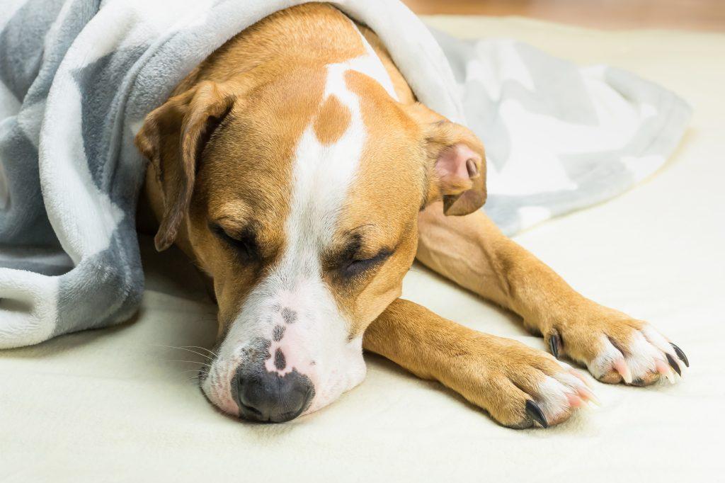 Liegender Hund mit Fieber