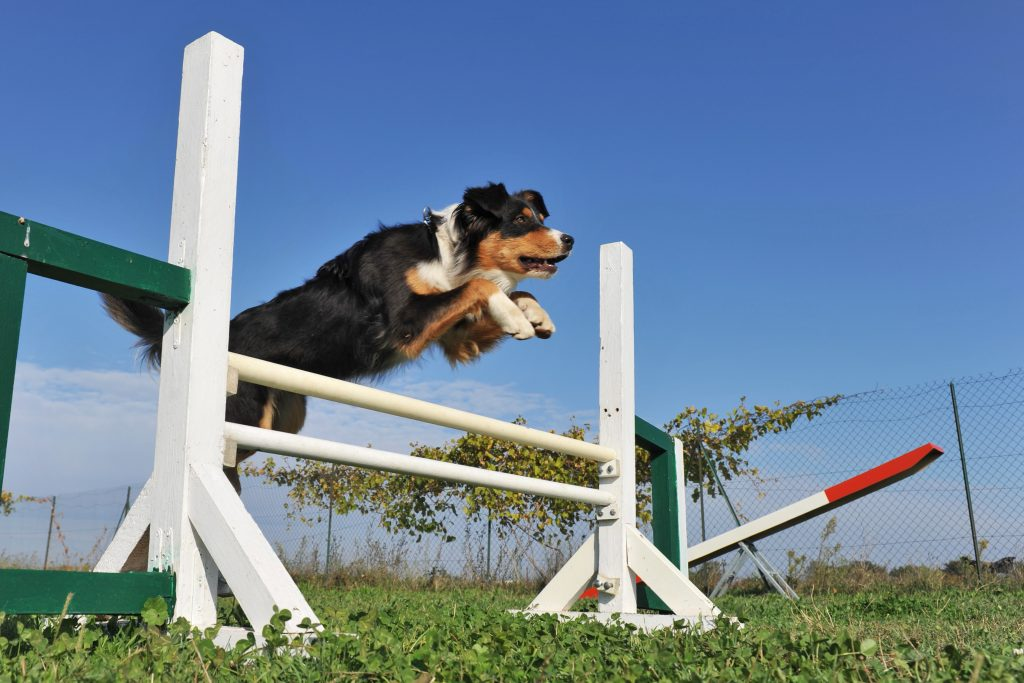 Hund trainiert seine Agility
