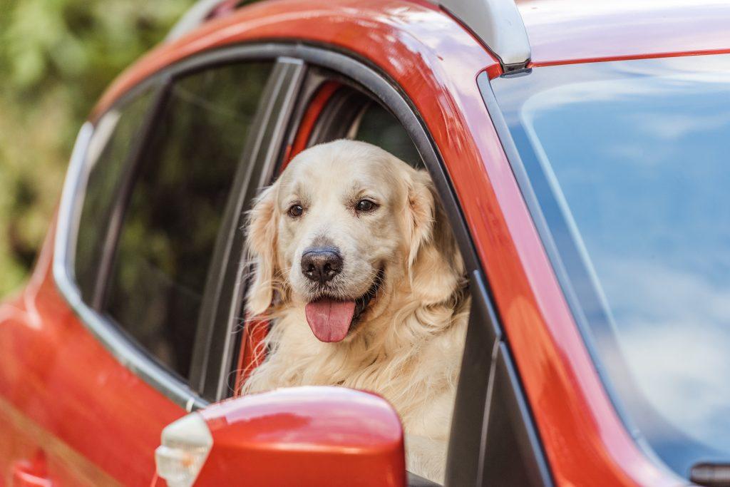 Ein Hund im Auto schaut aus dem Fenster