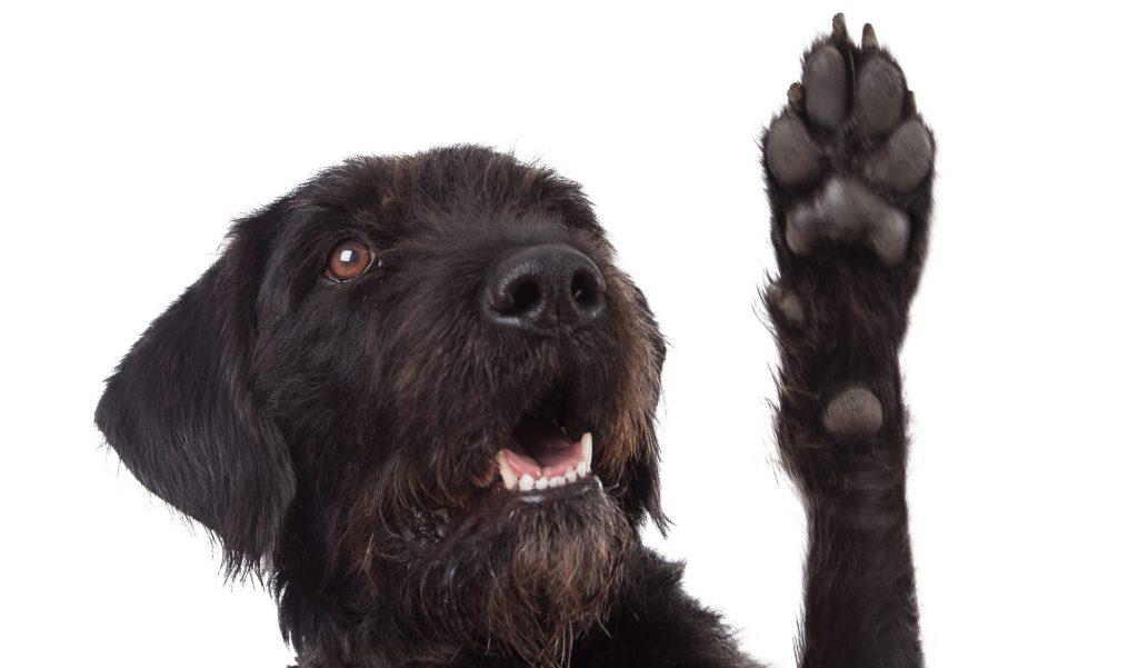 Hund zeigt seine Pfote um die Hundekrallen schneiden zulassen