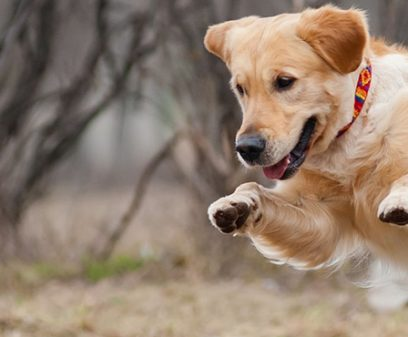 18452257 - cute funny golden retriever dog playing with a toy